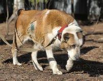 Pastor asiático central idoso Dog Imagem de Stock Royalty Free