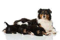 Pastor australiano adulto con el perrito aislado en blanco foto de archivo