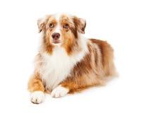 Pastor australiano atento Dog Laying Fotos de archivo libres de regalías