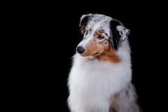 Pastor australiano de la raza del perro, Aussie, fotografía de archivo libre de regalías