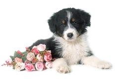 Pastor australiano del perrito en estudio imágenes de archivo libres de regalías