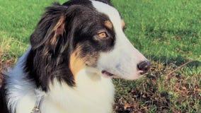 Pastor australiano do cão do retrato video estoque