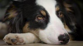 Pastor australiano Dog em casa vídeos de arquivo