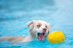 Pastor australiano Dog Grabbing Football en el agua foto de archivo libre de regalías