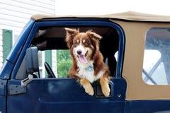 Pastor australiano Dog que cuelga hacia fuera la ventana de un jeep Imagenes de archivo