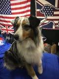 Pastor australiano en la exposición canina foto de archivo