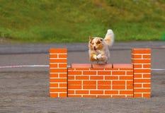 Pastor australiano na ação da agilidade do cão Imagem de Stock