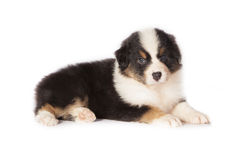 Pastor australiano Puppy Dog Fotos de Stock Royalty Free