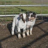 Pastor australiano Puppy e criança da cabra em uma cerca fotografia de stock royalty free