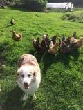 Pastor australiano que está sendo reunido por galinhas imagem de stock