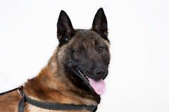 Pastor belga Dog Foto de Stock
