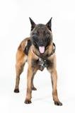 Pastor belga Dog Fotografia de Stock