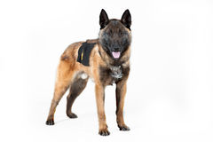 Pastor belga Dog Imagens de Stock