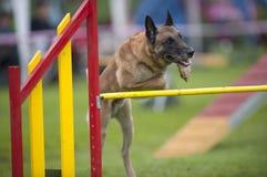 Pastor belga no curso da agilidade, sobre o salto da barra Foto de Stock Royalty Free