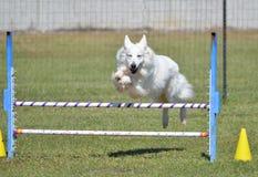 Pastor blanco en un ensayo de la agilidad del perro Imagenes de archivo