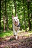 Pastor blanco feliz Dog Running Forward en bosque foto de archivo libre de regalías