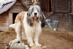 Pastor cárpato Dog que se coloca en la yarda fotografía de archivo libre de regalías