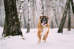 Pastor caucásico Dog Running Outdoor en el campo Nevado en el invierno Foto de archivo libre de regalías