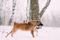 Pastor caucásico Dog Running Outdoor en el campo Nevado en el invierno Fotografía de archivo