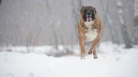 Pastor caucasiano Dog Running Outdoor no campo nevado no dia de inverno Movimento lento, Slo-Mo video estoque