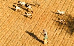 Pastor com as cabras no local arqueológico de Bagan em Myanmar Fotos de Stock