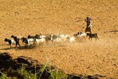 Pastor com as cabras no local arqueológico de Bagan em Myanmar Fotografia de Stock