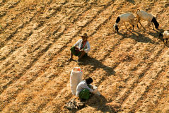 Pastor com as cabras no local arqueológico de Bagan em Myanmar Imagens de Stock