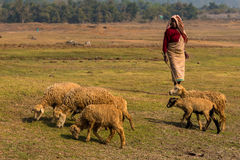 Pastor com carneiros Fotografia de Stock