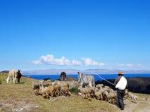 Pastor com o rebanho em Isla del Sol, Bolívia Fotos de Stock