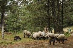Pastor com seus carneiros no pasto fotografia de stock royalty free