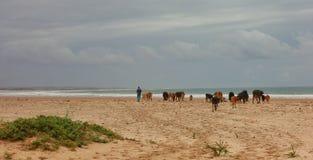 Pastor com vacas Fotos de Stock