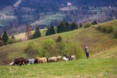 Pastor con las ovejas y las cabras en un prado en un fondo de montañas fotografía de archivo libre de regalías