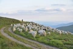 Pastor con sus ovejas fotos de archivo