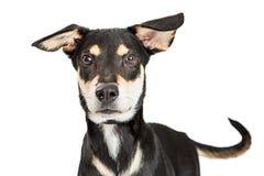 Pastor Crossbreed Dog Looking do close-up para a frente fotografia de stock