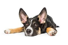 Pastor Crossbreed Puppy Lying para baixo liso imagem de stock royalty free
