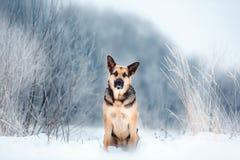 Pastor de Europa del Este hermoso en el invierno que nieva fotografía de archivo