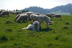 Pastor de Tatra y multitud de ovejas Foto de archivo libre de regalías