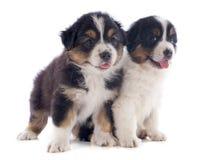 Pastor del australiano de los perritos imagen de archivo