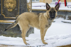 Pastor del belga del perrito Fotos de archivo libres de regalías