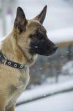 Pastor del belga del perrito Imagen de archivo libre de regalías