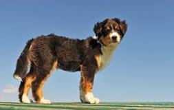 Pastor do australian do filhote de cachorro fotos de stock