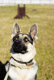 Pastor Dog al aire libre Imagen de archivo libre de regalías