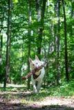 Pastor Dog Running en bosque con el registro de madera grande foto de archivo