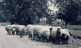 Pastor Drives His Sheep Imagem de Stock Royalty Free