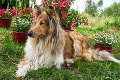 Pastor escocês Collie no jardim em um fundo das flores Imagem de Stock