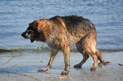 Pastor europeu do leste Shaking da raça molhada do cão na costa da lagoa Imagem de Stock Royalty Free