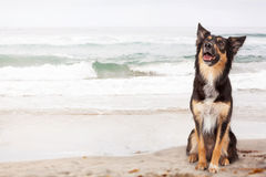 Pastor feliz Crossbreed Dog na praia foto de stock