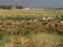 Pastor Goat Farm Field Fotos de archivo libres de regalías