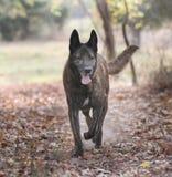 Pastor holandés grande Dog en un bosque Fotografía de archivo