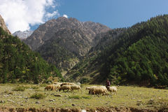 Pastor joven con sus corderos en las montañas Fotografía de archivo